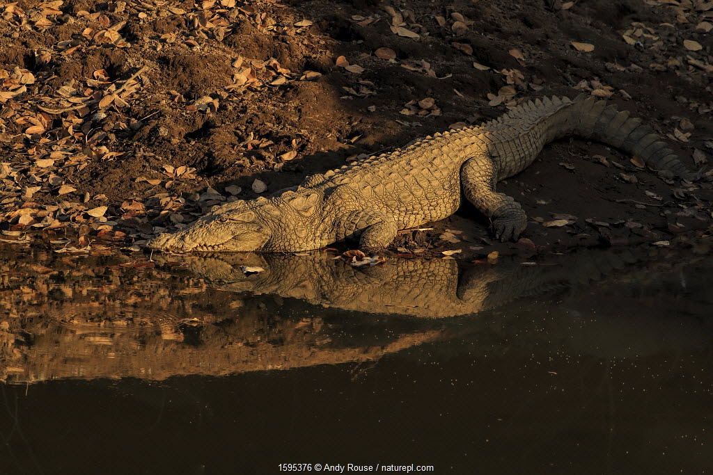 Mugger crocodile (Crocodylus palustris) at water's edge at sunset, Ranthambhore, India.