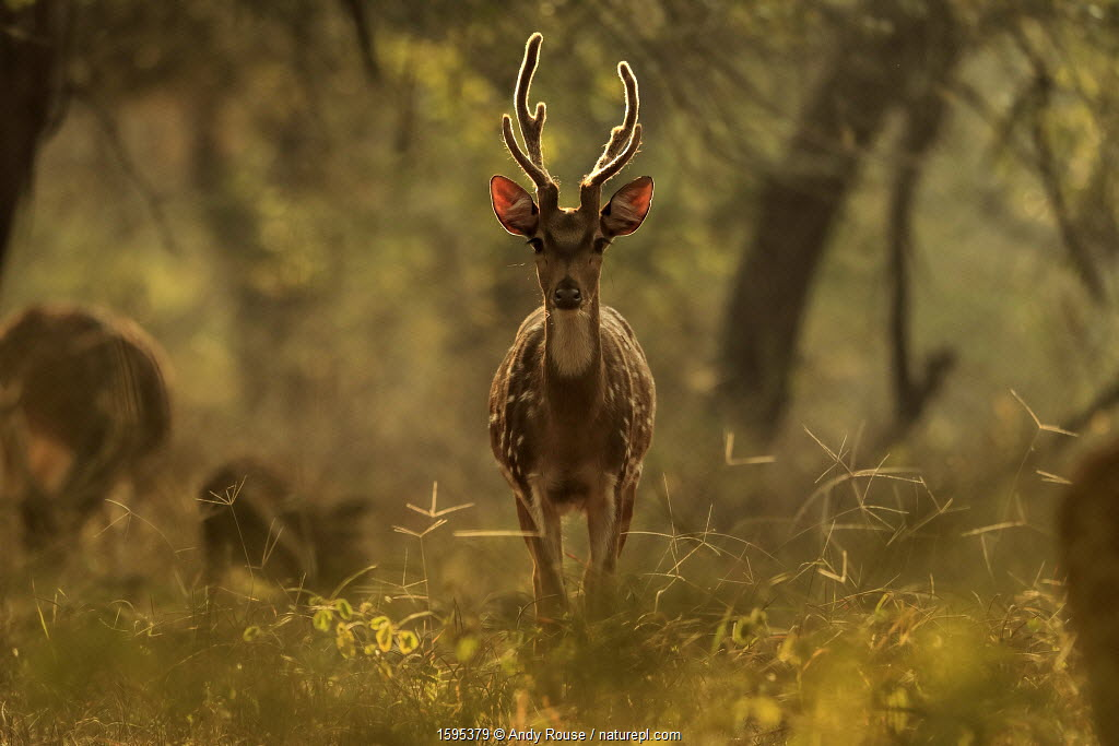 Chital / Axis deer (Axis axis) in forest, Ranthambhore, India.