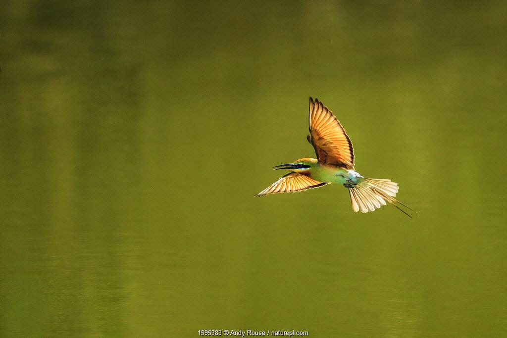 Green bee-eater (Merops orientalis) flying, Ranthambhore, India.