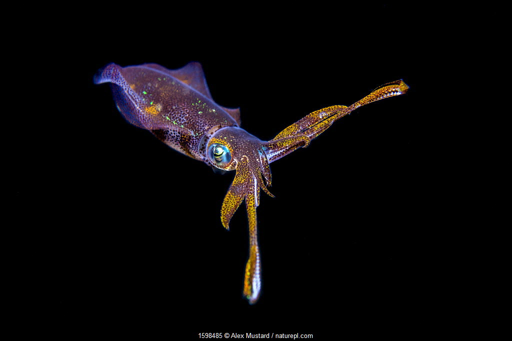Bigfin reef squid (Sepioteuthis lessoniana) in midwater at night. Anilao, Batangas, Luzon, Philippines. Verde Island Passages, Tropical West Pacific Ocean.