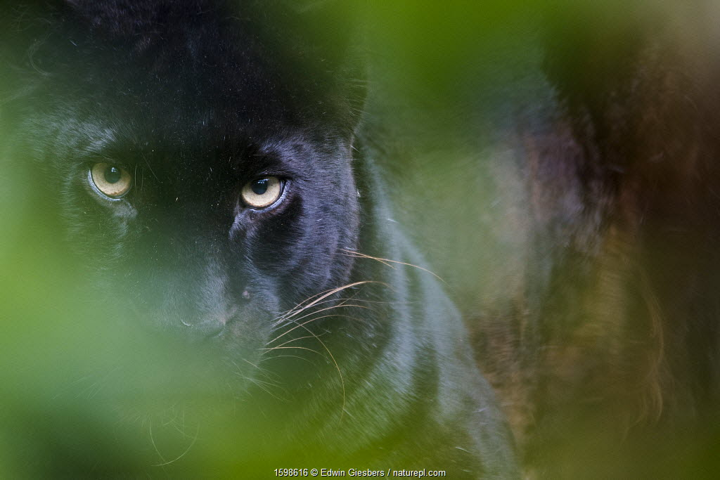 RF - Black panther / melanistic Leopard (Panthera pardus) peering through leaves, captive.