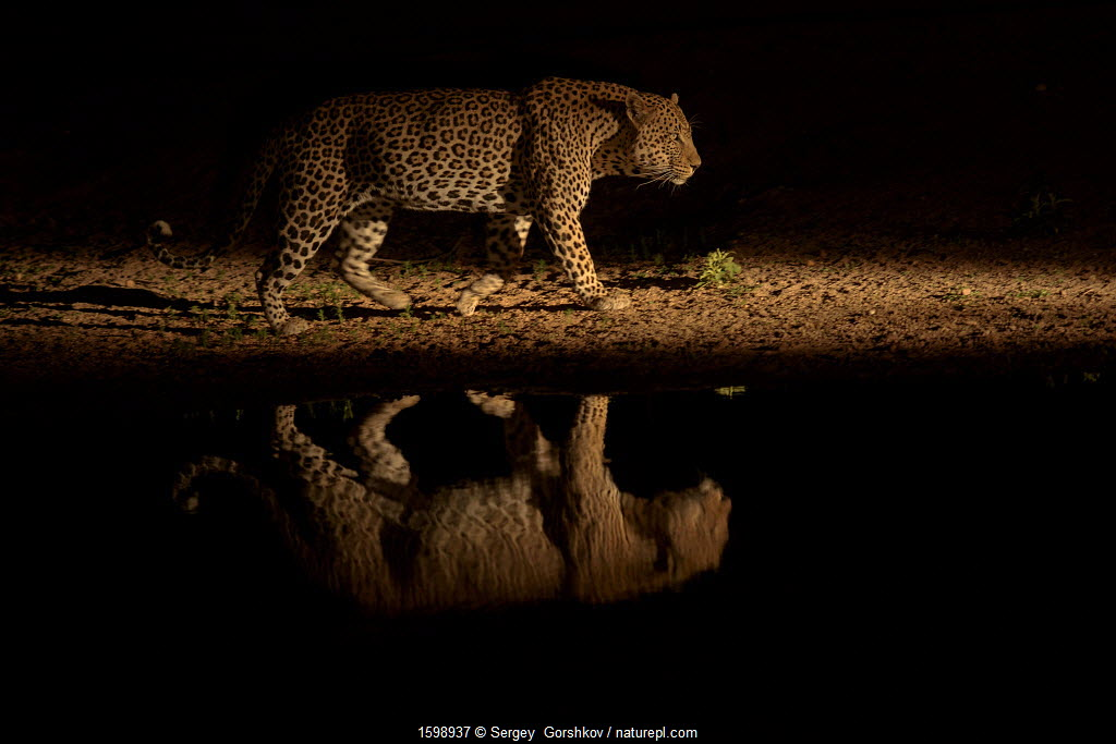 Leopard (Panthera pardus) walking beside waterhole, reflected in the water at dusk.