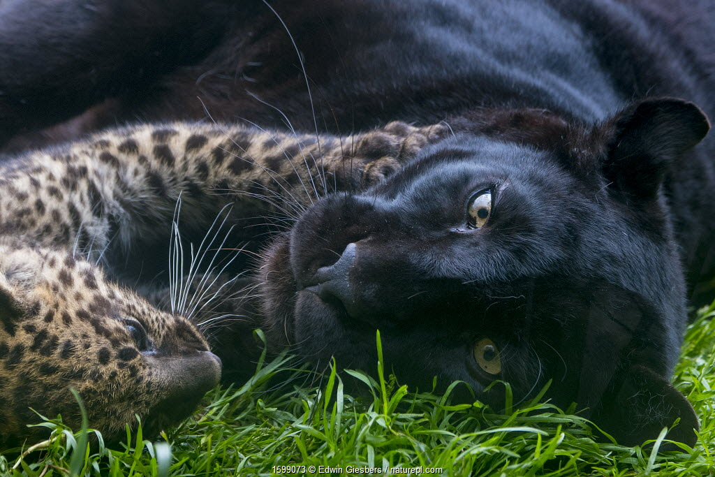 Black panther / melanistic Leopard (Panthera pardus) female resting with normal spotted cub, captive.
