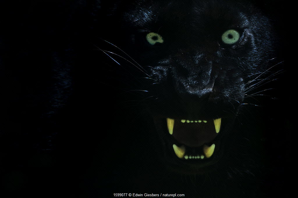 Black panther / melanistic Leopard (Panthera pardus) baring teeth, captive.