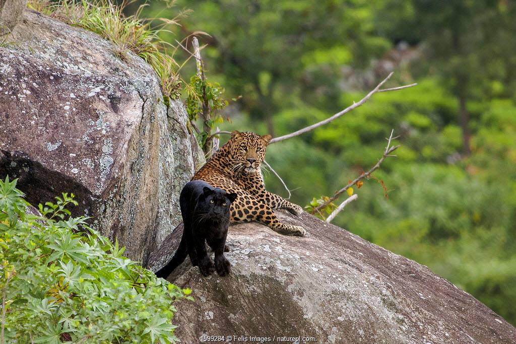 Leopard (Panthera pardus) spotted male with melanistic female resting on rocks, Tamil Nadu, Western Ghats, India.