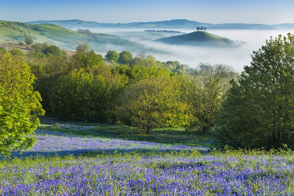 Bluebell (Hyacinthoides non-scripta) covered slope with Colmer's Hill in background, Eype Down, Bridport, Dorset, England, UK