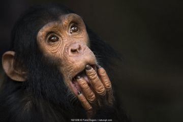 Eastern chimpanzee (Pan troglodytes schweinfurtheii) infant male 'Fifty' aged 3 years portrait.Gombe National Park, Tanzania.