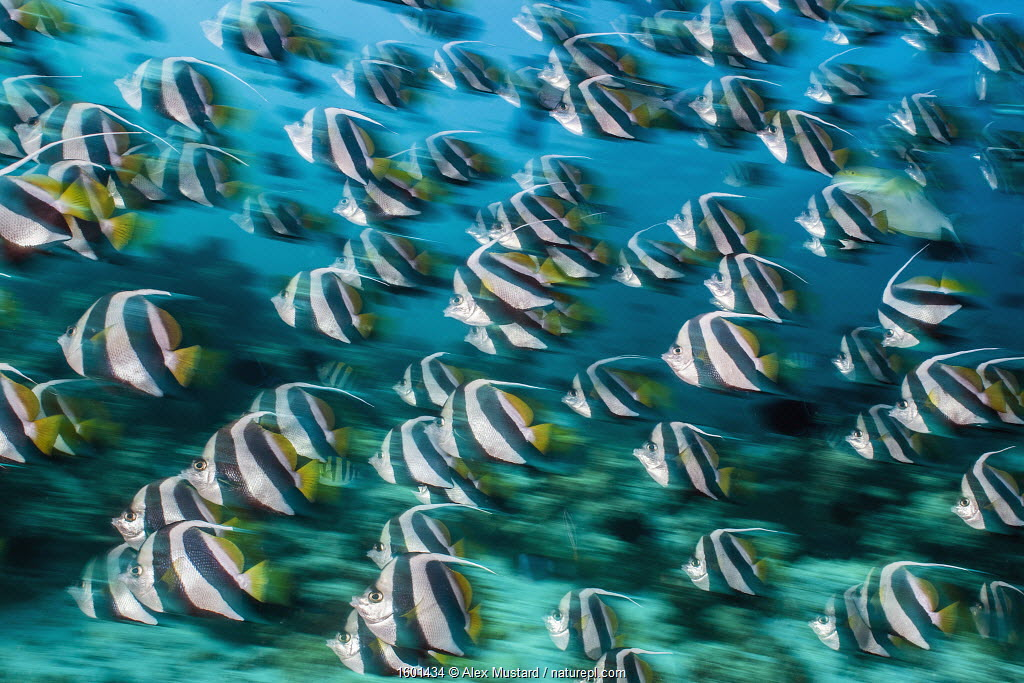 RF - Bannerfish (Heniochus diphreutes) schooling in coral reef. Long exposure. North Male Atoll, Maldives. Indian Ocean.