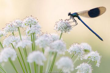 Male banded demoiselle (Calopteryx splendens), resting on flower head, Lower Tamar Lakes, Cornwall, UK. June.