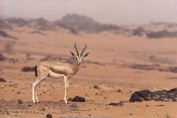 Dorcas gazelle (Gazella dorcas) male, Tenere, Sahara, Niger.