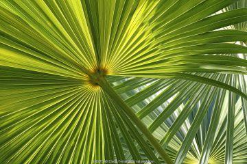 Florida thatch palm (Thrinax radiata) leaf, Hispaniola.