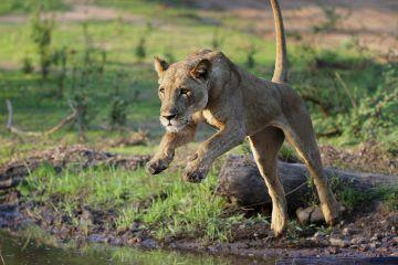 Lion (Panthera leo), female jumping over a stream. Mana Pools National Park, Zimbabwe.