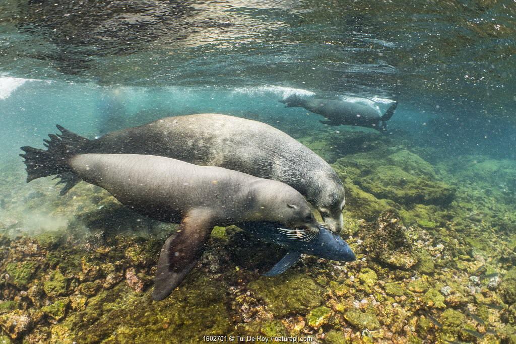 Galapagos sea lions (Zalophus wollebaeki) hunting tuna.