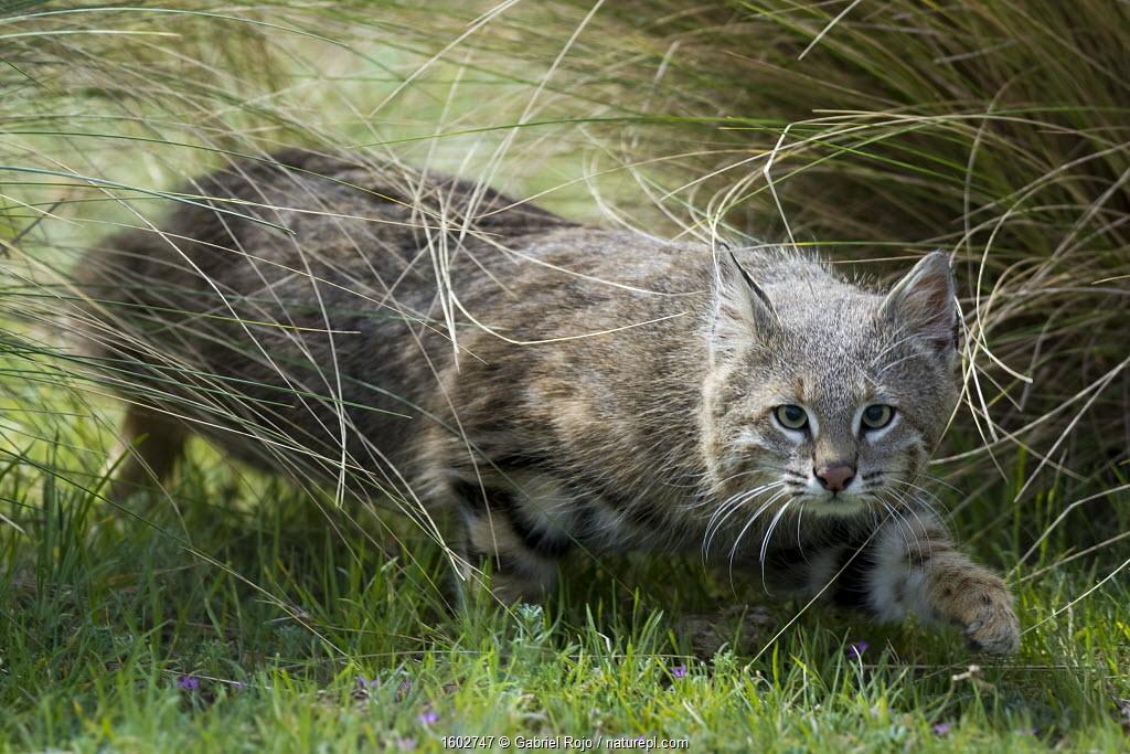 Pampas cat (Leopardus colocola) La Pampa Province, Argentina.