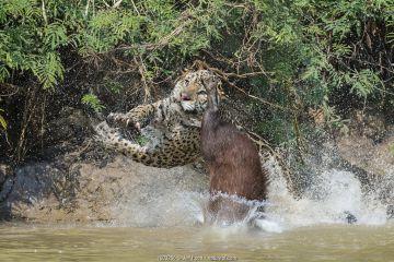 Jaguar (Panthera onca) male, hunting Capybara (Hydrochoerus hydrochaeris)
