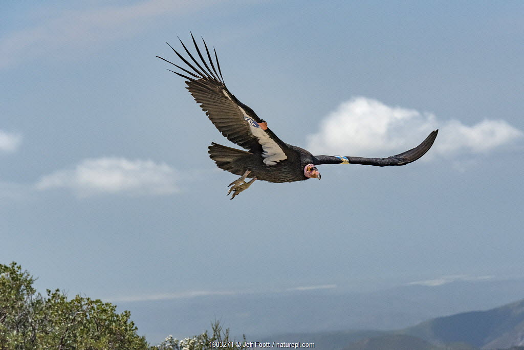 Wild California condor (Gymnogyps californianus) in flight, with wing tag and transmitter, Baja, Mexico.