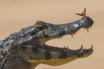 Yacare caiman (Caiman yacare) with butterfly on snout, Cuiaba River, Pantanal Matogrossense National Park, Pantanal, Brazil.