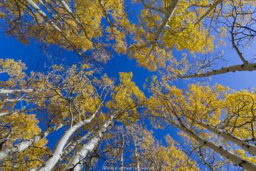 View up into canopy of Aspen (Populus) trees against blue sky in autumn