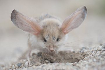 Long-eared jerboa (Euchoreutes naso) digging, South Gobi Desert, Mongolia. June.