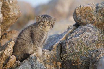 Pallas's cat kitten (Otocolobus manul) Sukhe-Batar Aimag, South Gobi Desert, Mongolia. June.