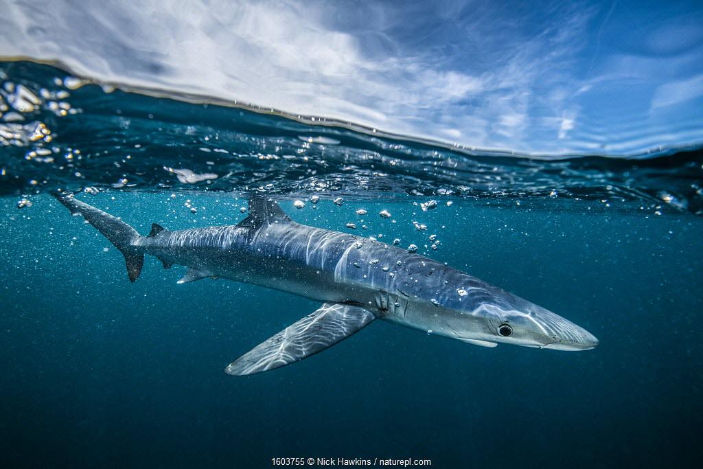 Blue shark (Prionace glauca) off Halifax, Nova Scotia, Canada. July.