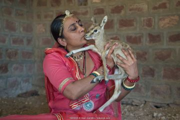 Bishnoi woman holding and kissing Indian gazelle or Chinkara fawn (Gazella bennettii).