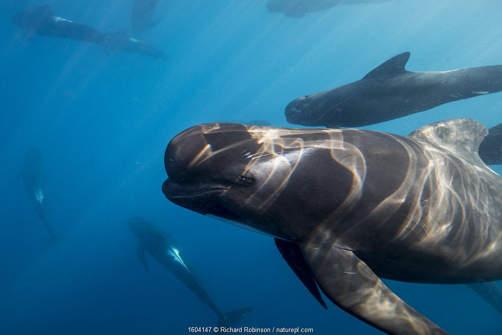 Long-finned pilot whales (Globicephala melas) offshore, Northern New Zealand.