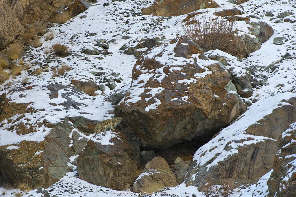 Wild Snow leopard (Panthera uncia), in habitat, Hemis National Park, Himalayas, Ladakh, India