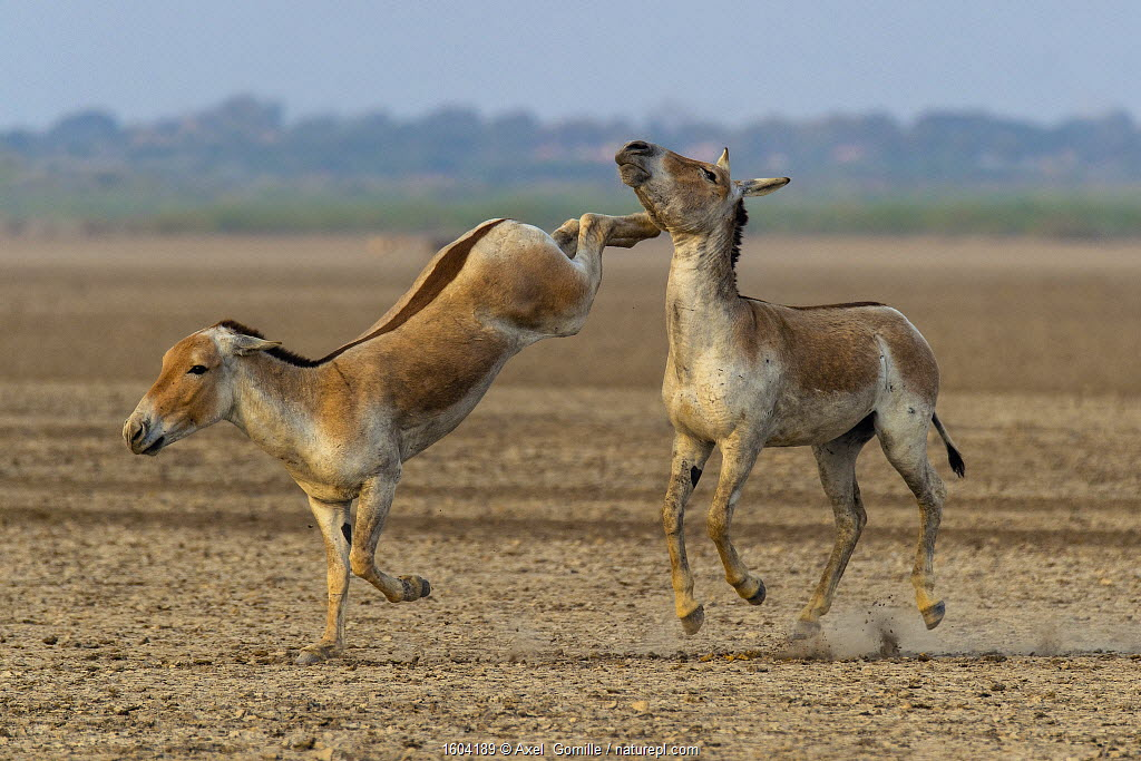 Asiatic wild ass (Equus hemionus khur), young males fighting, with one kicking opponent, Little Rann of Kutch, Gujarat, India