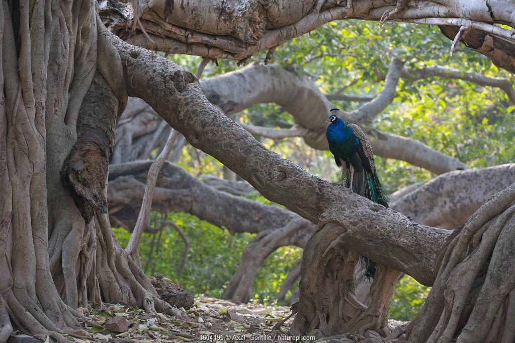 Peacock (Pavo cristatus) resting on large Banyan tree (Ficus benghalensis), Ranthambhore National Park, Rajasthan, India.