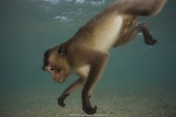 Long-tailed macaque (Macaca fascicularis) swimming.