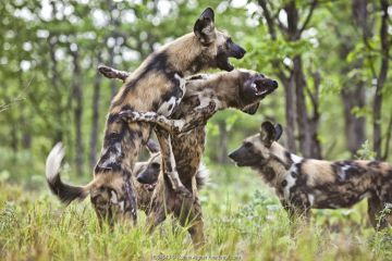 African wild dogs (Lycaon pictus) of the same pack playing and greeting each other. Zimbabwe