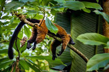 Red-ruffed lemur (Varecia rubra) lying on branch in tropical forest, Madagascar.