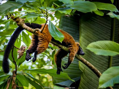 Red-ruffed lemur (Varecia rubra) lying on branch in tropical forest, Madagascar.