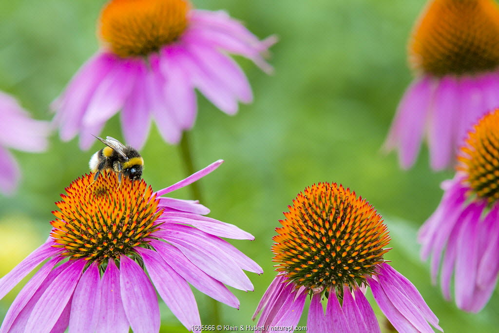 Echinacea flowers (Echinacea angustifolia) in garden with Buff tailed bumblebee (Bombus terrestris) France