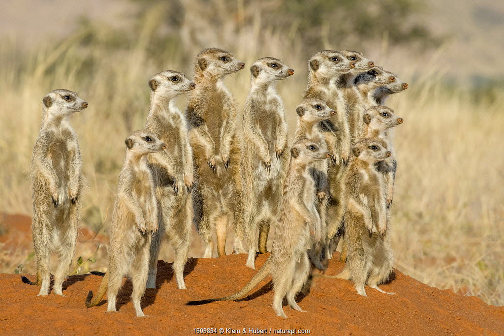 Meerkat (Suricata suricatta) alarmed group standing on hind legs watching jackal pass by, Kalahari, Botswana