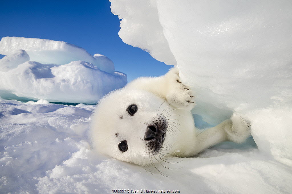 Harp seal (Pagophilus groenlandicus) pup on ice, Gulf of St. Lawrence, Canada