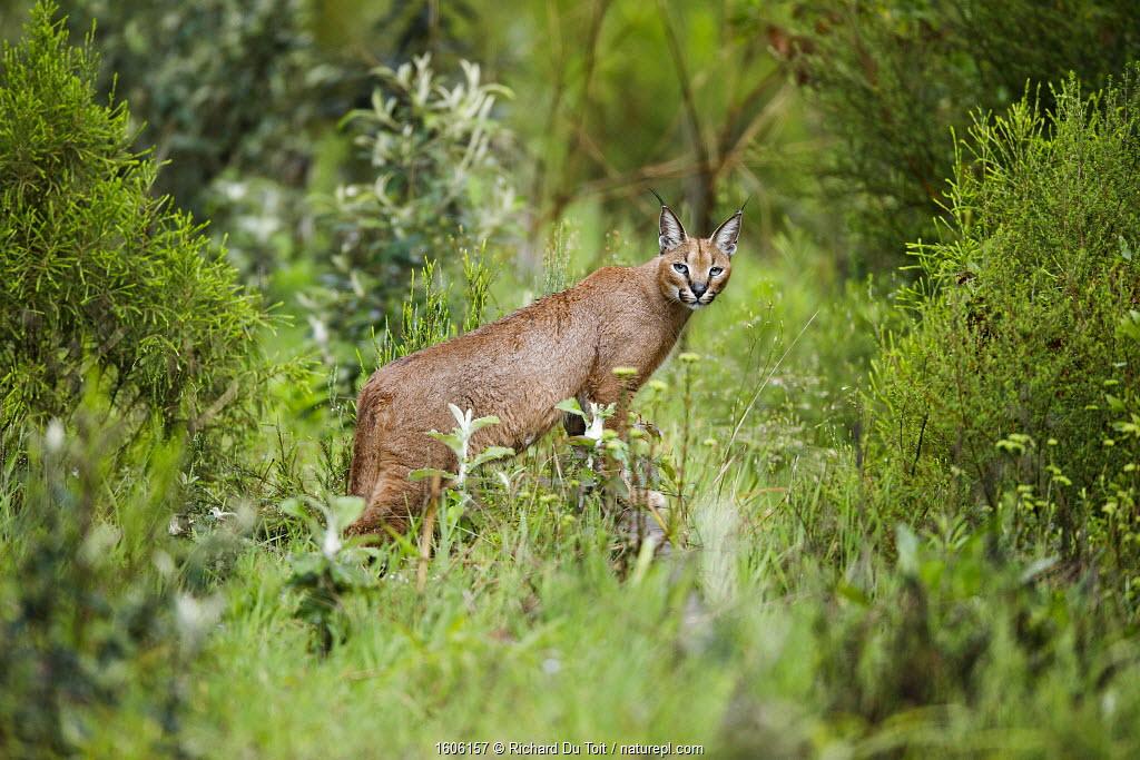 Caracal (Felis caracal) Garden Route National Park, Western Cape Province, South Africa
