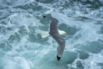 Kittiwake (Rissa tridactyla) flying over sea. Great Saltee Island
