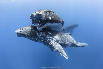 Humpback whale (Megaptera novaeangliae australis), male calf resting beneath his mother.