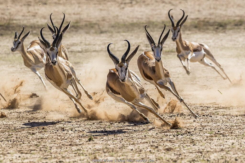 Springbok (Antidorcas marsupialis) herd fleeing predator, Kgalagadi Transfrontier Park, South Africa.