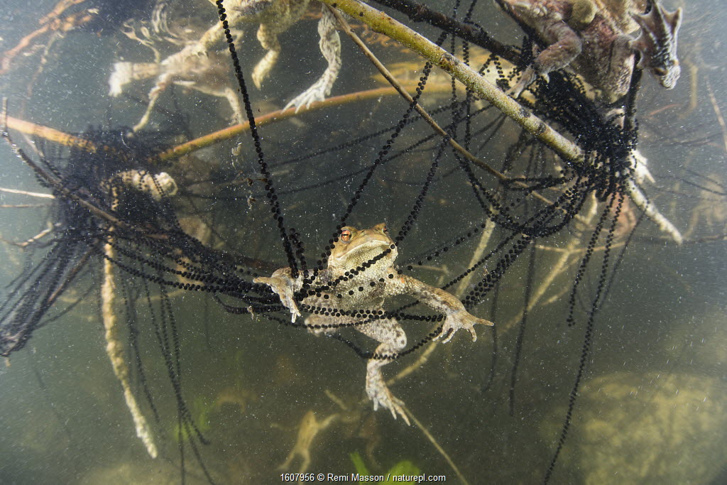 Underwater view of Toads (Bufo bufo) and toadspawn in lake, Ain, Alps, France