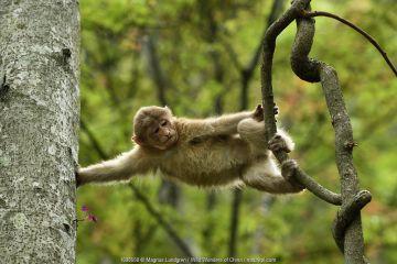 Tibetan macaque (Macaca thibetana) juvenile climbing in a tree in Tangjiahe Nature Reserve, Sichuan Province, China