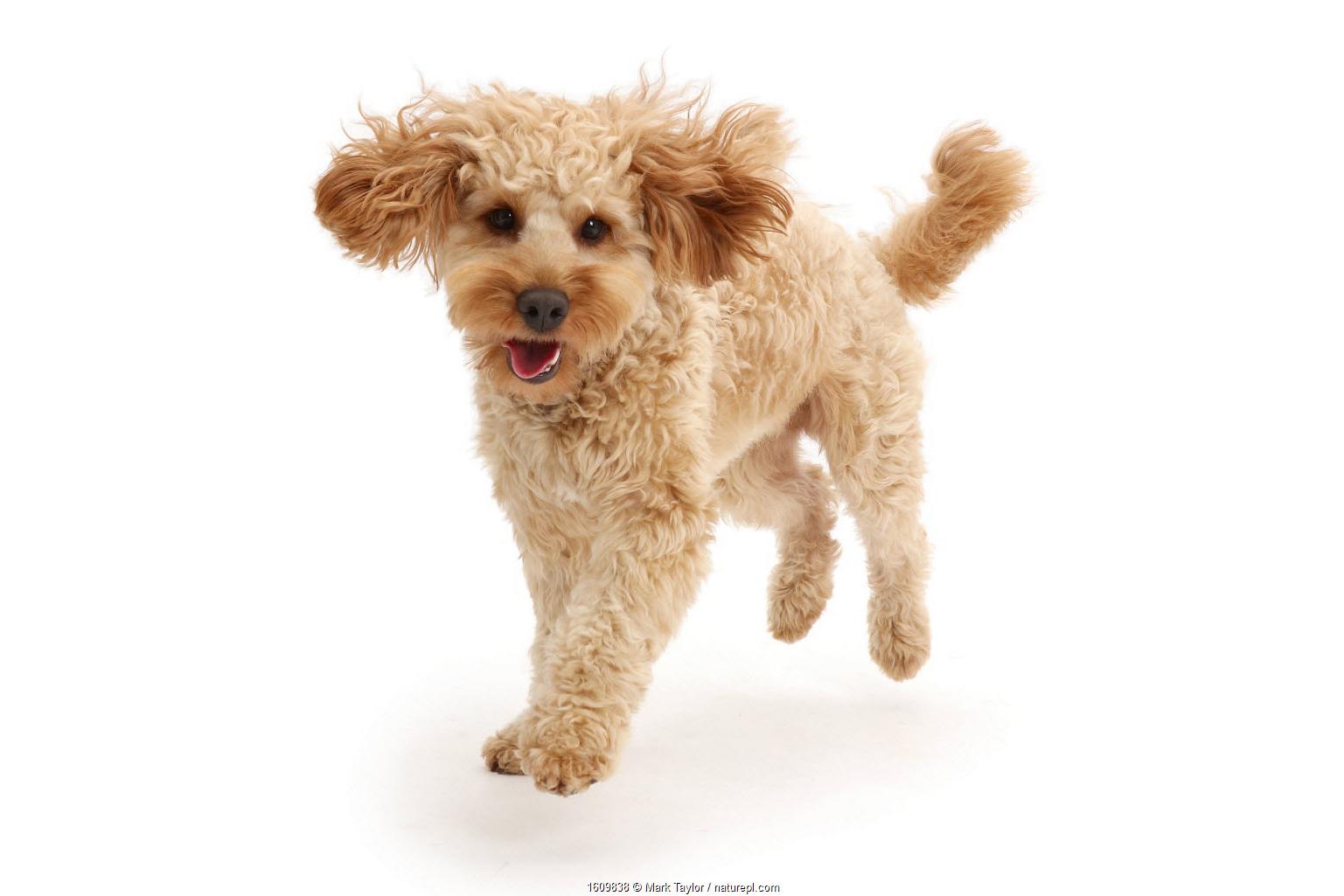 Cavapoo dog, Monty, 10 months, running.