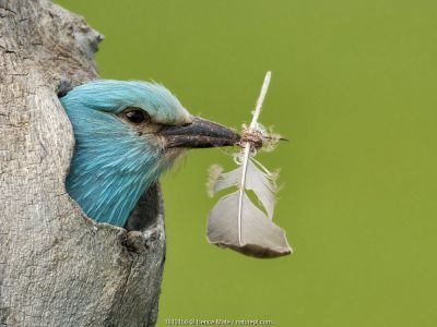 European roller (Coracias garrulus) peering out of nest with feather
