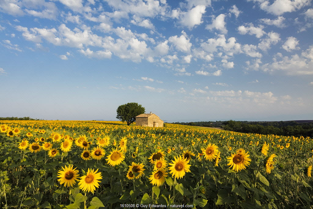 Field of sunflowers in bloom, Plateau de Valensole, Provence, France.