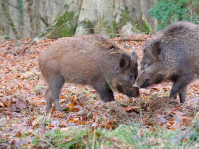 Juvenile male wild boar (Sus scrofa) fighting to establish seniority, Gloucestershire, England, UK, December.