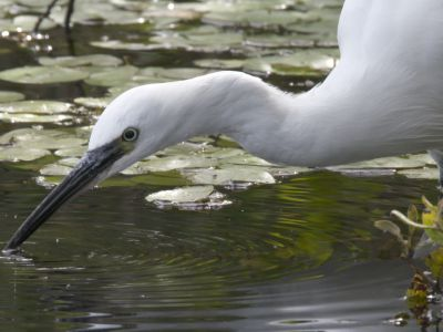 Slow motion clip of a Little egret (Egretta garzetta) hunting for fish, using beak to vibrate the water's surface, Westhay SWT reserve, Somerset Levels, England, UK, December.