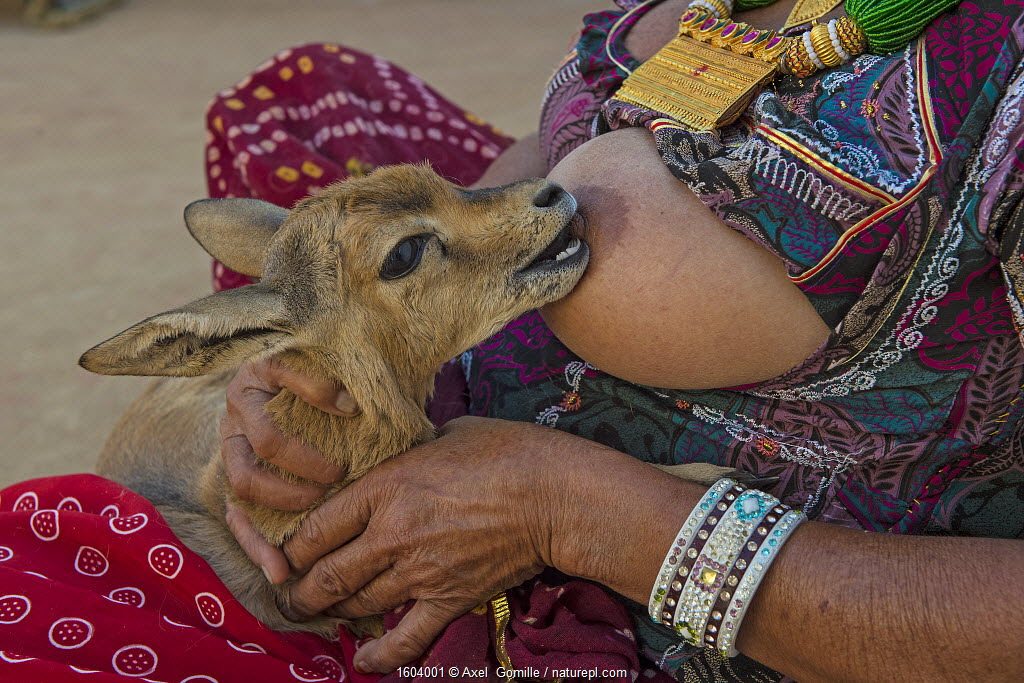 Bishnoi woman breastfeeding an orphaned Indian gazelle / Chinkara fawn (Gazella bennettii) Bishnoi are a religious community which venerates nature, based in northwestern India. The fawn will be released when it is old enough. Rajasthan, India. Highly commended in the European Nature Photographer of the Year Competion 2018