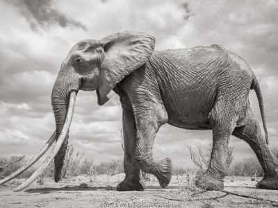 African elephant (Loxodonta africana) female with very large tusks, Tsavo National Park, Kenya. Highly commended in the GDT European Wildlife Photographer of the Year Awards 2018. Editorial use only